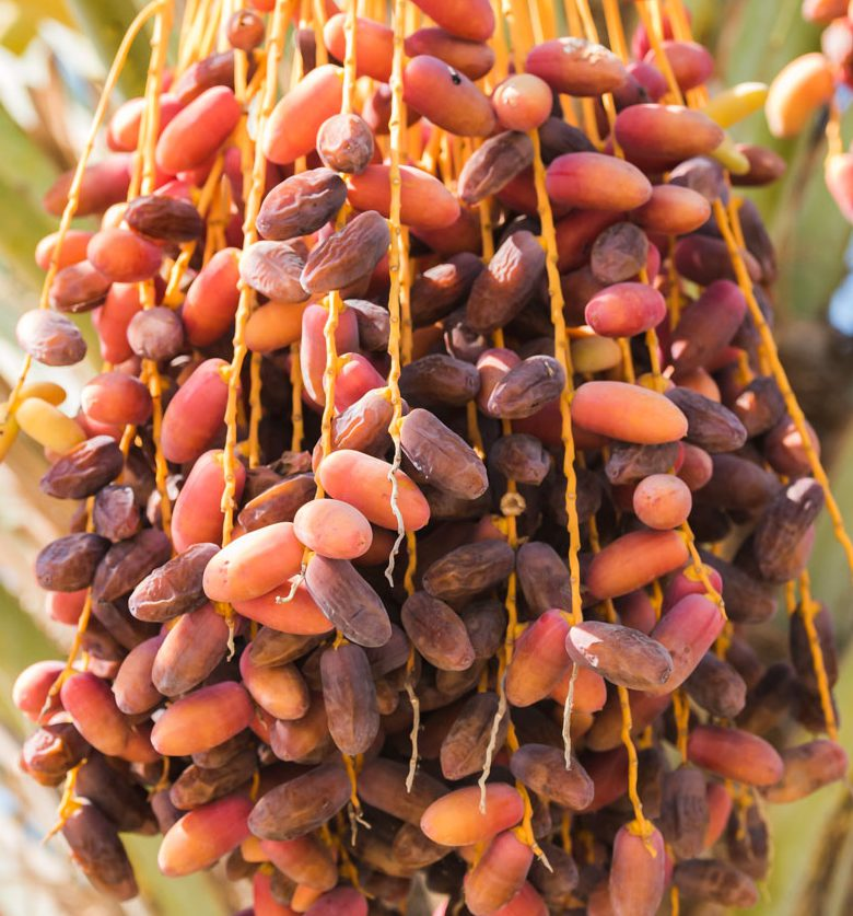 phoenix-agrotech-dayri-date-fruit.jpg
