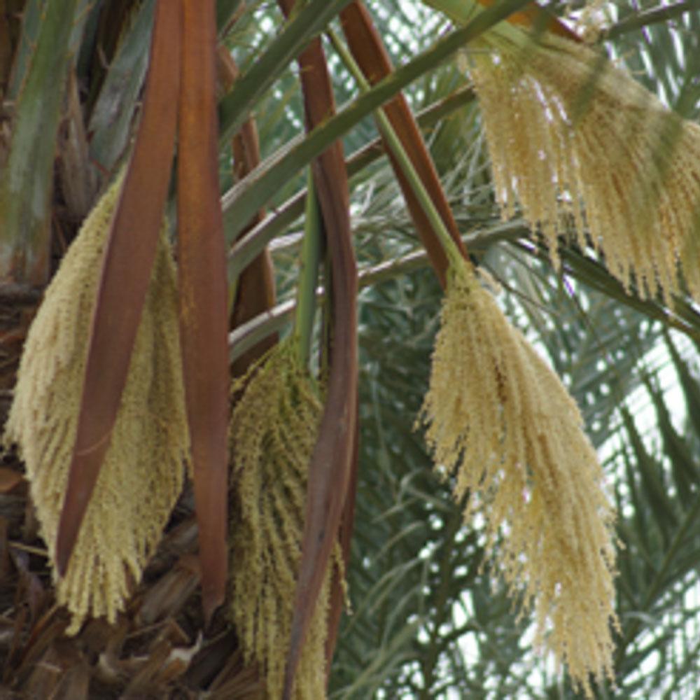 phoenix-agrotech-jarvis-1-date-pollen-1.jpg