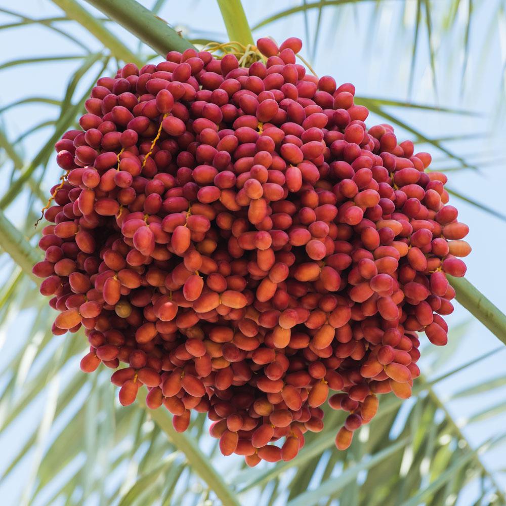phoenix-agrotech-khisab-date-fruit.jpg