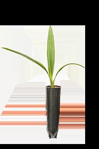 Torpedo Plantlets (Worldwide)